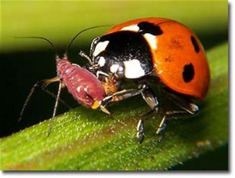 what do bed bugs eat ladybug eating spider www pixshark com images galleries with a bite