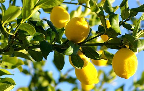 my fruit trees not producing fruit citrus tree pruning harvest to table