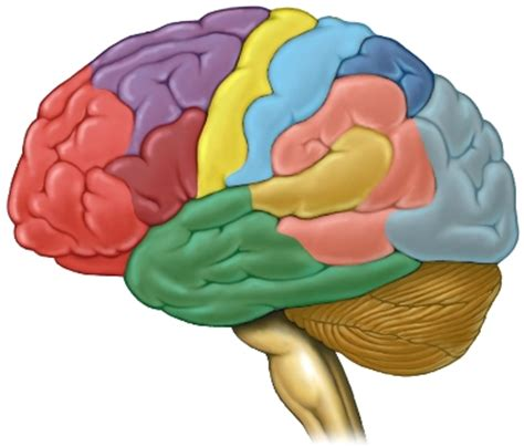 brain color salud y medicina el cerebro organiza los objetos de
