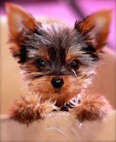 best way to potty a yorkie puppy 17 best ideas about terrier haircut on yorkie terrier