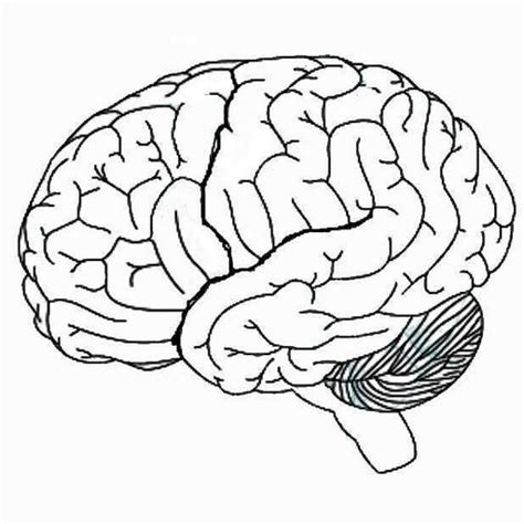 Brain Outline Lobes by Human Brain Diagram Blank