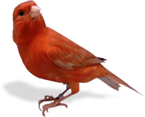 Jalak Kapas wallpaper burung bird auto design tech