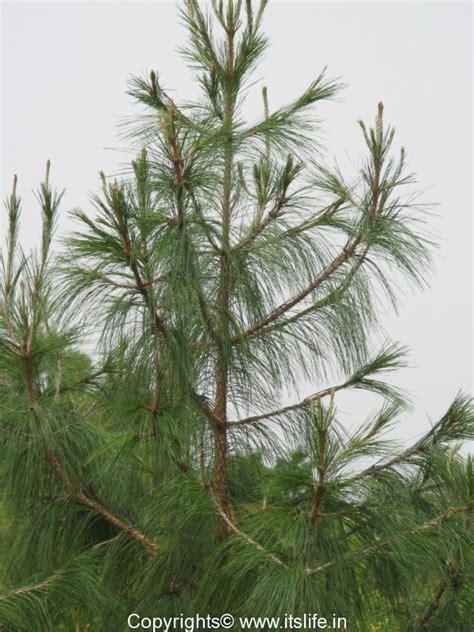 tree pic deodar tree cedar tree devadar tree gardening