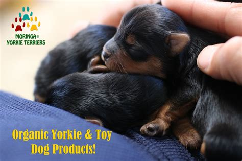 akc yorkie puppies for sale in corona california yorkie puppies for sale teacup toy dogs moringa for dogs
