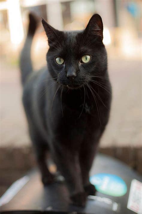 ideas  black cats  pinterest cute black
