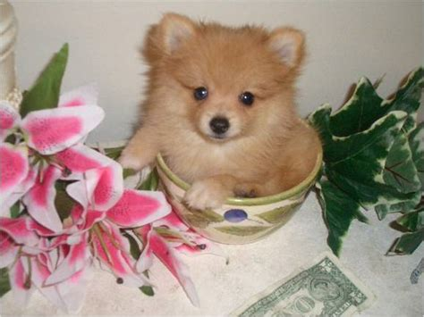 teacup pomeranian and chihuahua mix pomchi pomeranian chihuahua mix info temperament puppies pictures