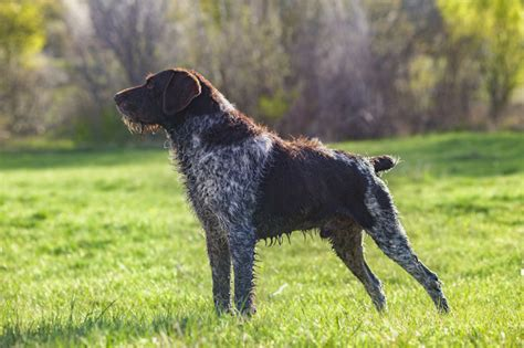german wirehair puppies pointer puppies www pixshark images galleries with