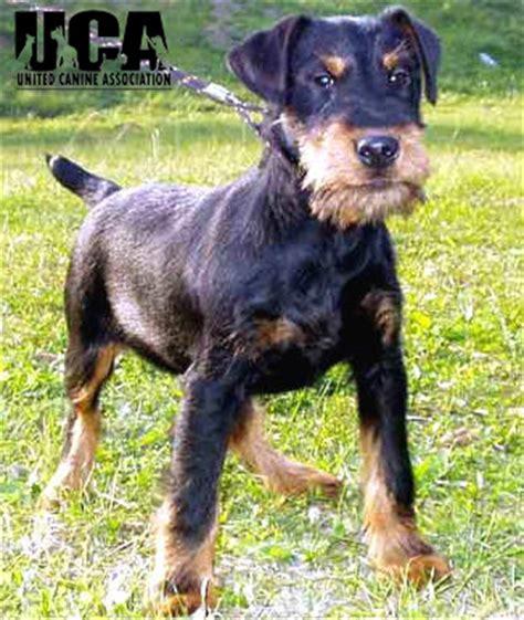 german jagdterrier puppies for sale german terrier puppies quotes