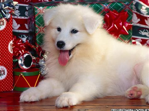 christmas wallpaper with puppies cute christmas puppies and dogs free christian wallpapers