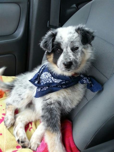 australian shepherd blue heeler mix puppies for sale australian shepherd blue healer mix breeds picture