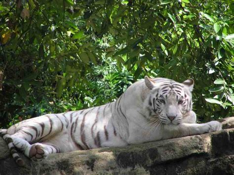 White Tiger L by Amazing White Tiger Wallpaper Wallpaper Pictures