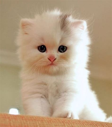fluffy names fluffy white kitten flawless house cats fluffy cats white