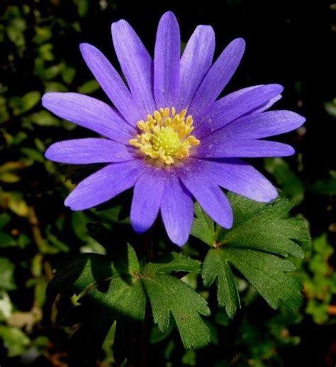 anemone apennina anemone apennina specie della flora italiana
