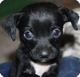 lab chihuahua mix puppies oregano sugar pup adopted puppy los angeles ca chihuahua labrador retriever mix