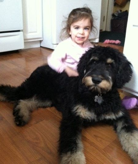 poodle and rottweiler mix top 25 best rottweiler mix ideas on rottweiler lab mixes lab mix puppies