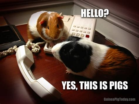 Guinea Pig Meme - hello yes this is pigs guinea pig today