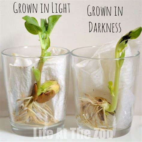 Growing In The Dark Plants And Light Science Project Education Com | bean growing a classic childhood science activity add