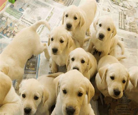 gif puppy puppies lab puppy 4 gif