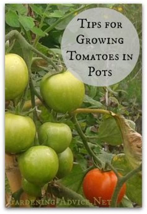 diy growing plants how to grow tomatoes in container with better yield diy craft ideas