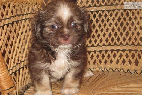 peekapoo puppies for sale pekepoo puppy for sale near york pennsylvania 11d440e9 fd81