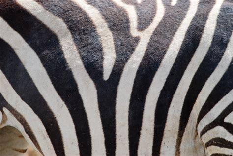 zebra pattern hair zebra fur stripes pattern pictures free textures and