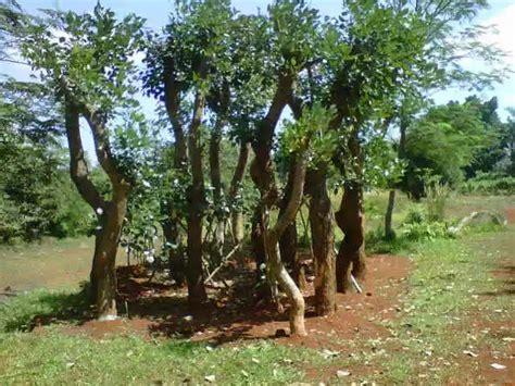 Jual Pohon Bintaro jual pohon pelindung dadap merah flamboyan mahoni