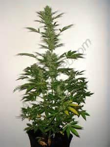 awesome Cannabis Interieur #5: 5-flo.jpg