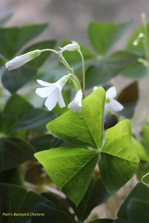 how to care for a shamrock plant countryside network