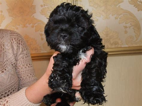shih tzu x poodle stunning shih tzu x poodle ready now manchester greater manchester pets4homes