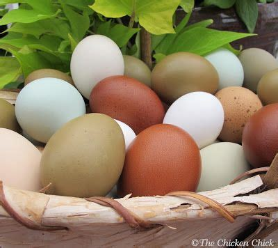 8 tips for clean eggs from backyard chickens backyard