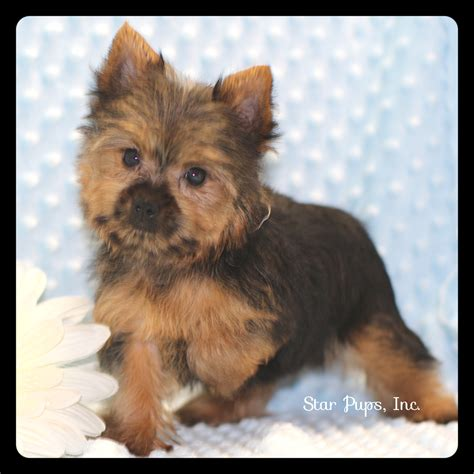 black and yorkie terrier m black and sold pups