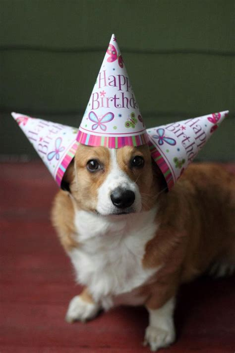 Corgi Birthday Meme - 44 best images about birthday animals on pinterest