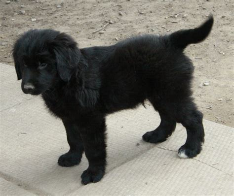 black retriever puppies a beautiful black newfoundland x golden retriever puppy puppies for sale dogs for