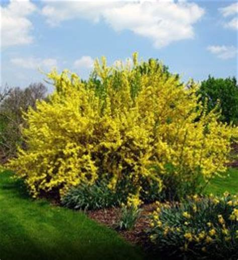fast growing flowering shrubs fast growing shrubs fast growing and hedges on