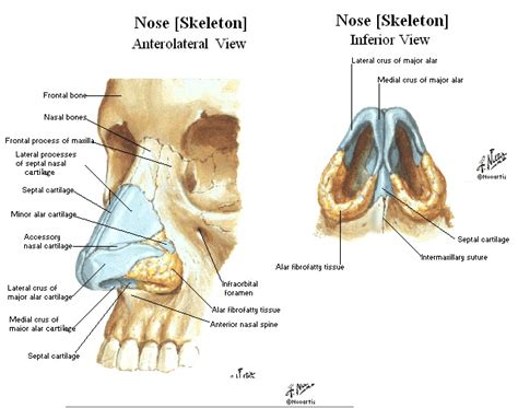 diagram of nose nose revision surgery and surgeons january 2011