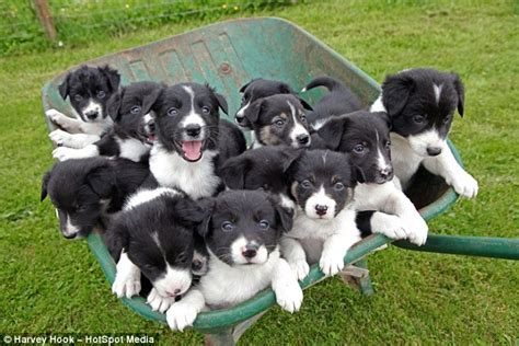 average puppy litter the sheepdog gives birth to adorable 14 pup litter so big they to be carted