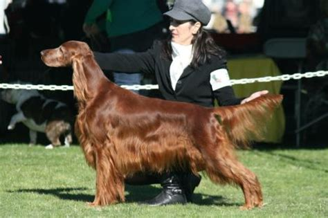 irish setter dies dog show monet irish setter