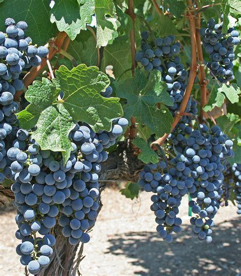 file grape vines cliff lede winery jpg wikimedia commons