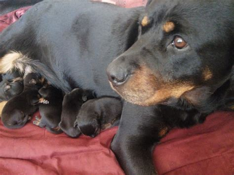 breed rottweiler for sale rottweiler puppies for sale chesterfield derbyshire pets4homes