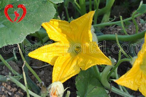frittelle di fiore di zucchine frittelle di fiori di zucchine