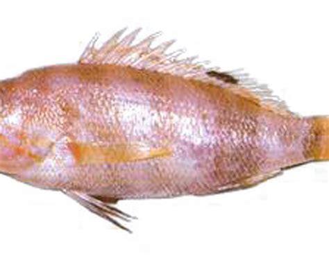 aguglia imperiale come si cucina pagello fragolino mercato ittico chioggia chioggiapesca