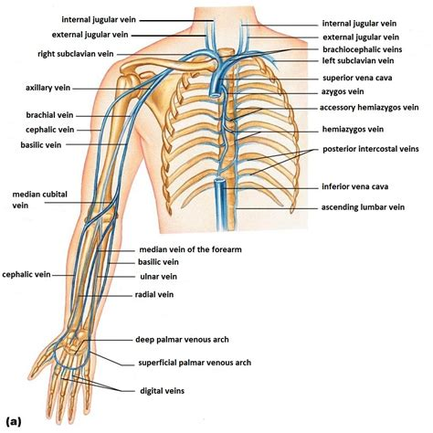 vein diagram of arm new page 2 jb004 k12 sd us