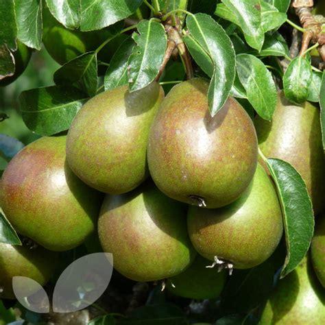 fruit trees for sale in nj pear louise bonne of jersey pear fruit trees for sale