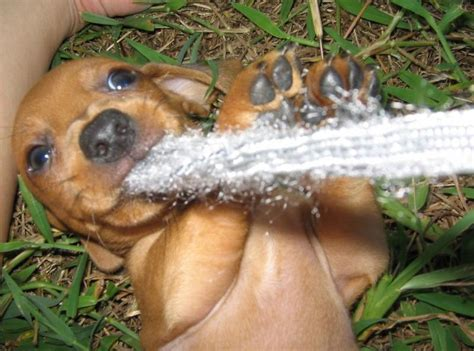 how much are dachshund puppies how much do dachshund puppies cost breeds picture