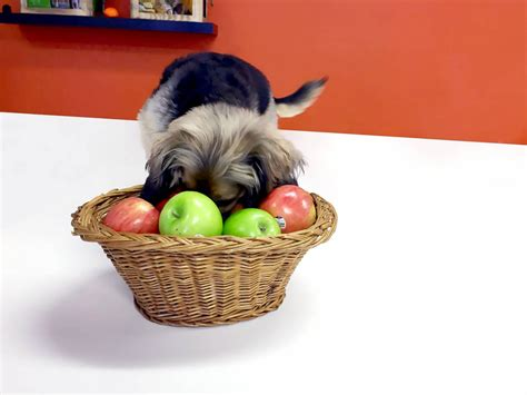apples for dogs can dogs eat apples the about apples for dogs