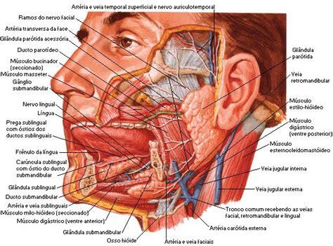 glandula submaxilar anatomia 7 gl 226 ndulas anexas sistema digest 243 rio