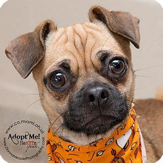 ohio pug rescue available dogs 17 best ideas about beagle mix on beagle mix