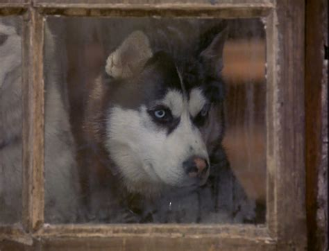 from snow dogs from snow dogs siberian huskies photo 32170994 fanpop