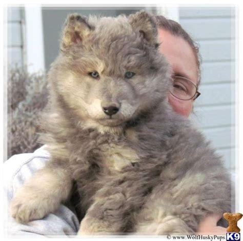 wolf german shepherd puppies wolf german shepherd puppies sale wolf shepherd mix puppies breed wolf puppies for