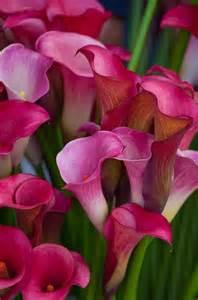 calla colors calla lilies flowers
